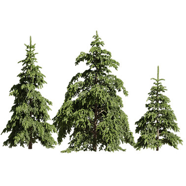 Picea pungens 08