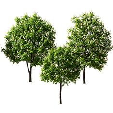 Chestnut-tree(5.5-6.6m).jpg
