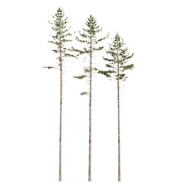 Common Pine (22-25.5m) Pinus Sylvestris