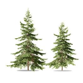 Picea (3-3.8m)