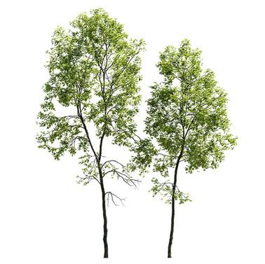 Ash Tree (19.8-22.6m) Set Of 2 Trees