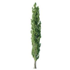 Tree - Poplar Tree 04
