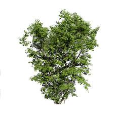 Maple Tree (Acer 12.5m)