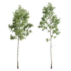 Birch_forest_part_07
