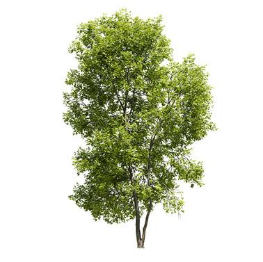Ash-tree(18m)