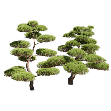 Pinus_Bonsai_02