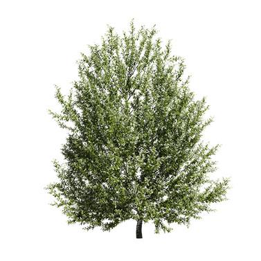 Prunus_padus_01(6,8m)