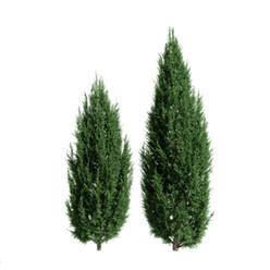 Juniperus Scopulorum (Set Of 2 Colors