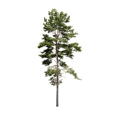 Pinus Sylvestris - Scots Pine Tree