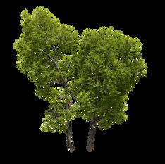 Ash Trees (15.5-18.2m) Set Of 2 Trees
