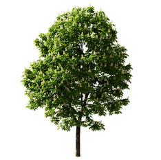 Chestnut-tree(10m).jpg