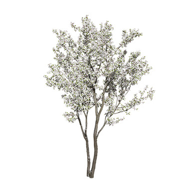Cherry Tree Flowering (Prunus Cerasus)