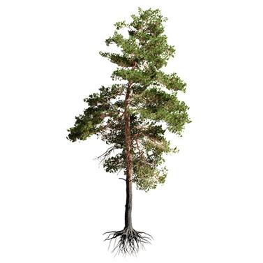 Pinus_Sylvestris_14(16m)