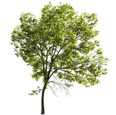Ash tree - Fraxinus
