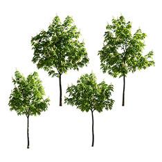Chestnut-tree(5-5.7m).jpg