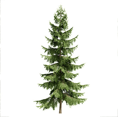 Spruces_03