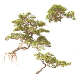 Pine On Rock 02