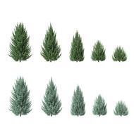 Juniperus Scopulorum