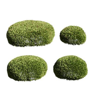 Juniperus globe