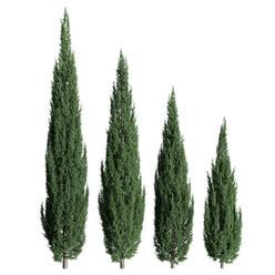 Juniperus_scopulorum_02