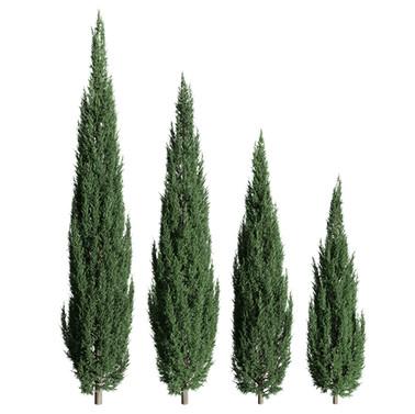 Juniperus_scopulorum