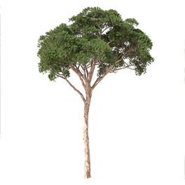 Pinus_pinea_02
