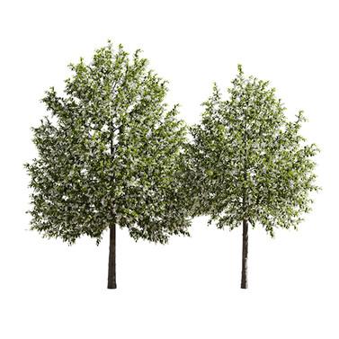 Prunus Padus_04.jpg