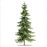 Spruces_04