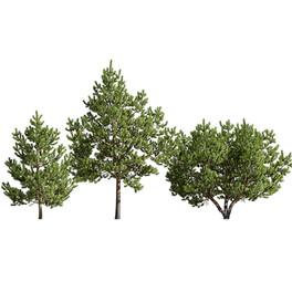 Pinus_Sylvestris_28(5.6-9m)
