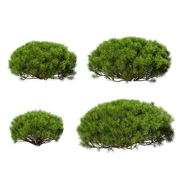 Pinus Mugo_04