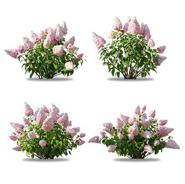 Hydrangea_paniculata_bush_01