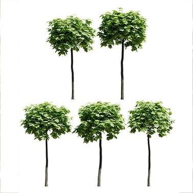 Maple Trees 12 (Set Of 5 Trees 2.3-2.5m)