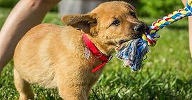 Dog Pulling Toy.jpg