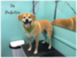 Louie looking good at K9 Perfection Grooming Salon Wendell, NC