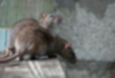 Brown Rat.jpg