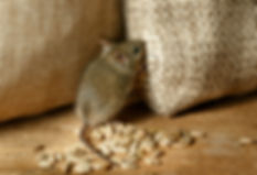 closeup the vole mouse nibbles the sack