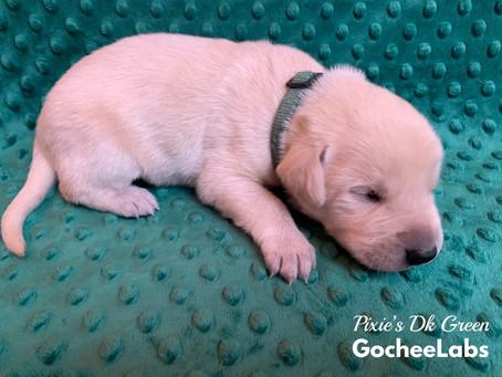 Pixie/Raider puppies week 2️⃣: Transitional stage