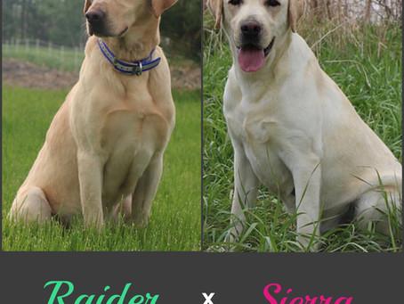 Sierra x Raider's 13 puppies