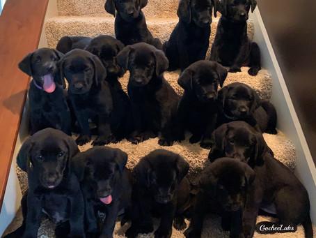 Jayda and Paris's puppies  week 7