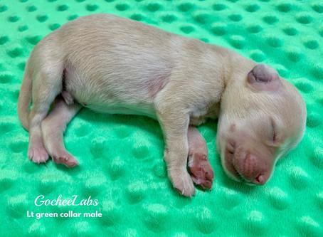Dolly/Raider puppies week 1