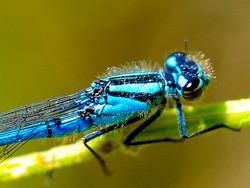 Blue dragonfly closeup