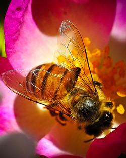 Rose + bee = bee heaven