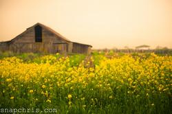 Old Barn in a field of mustard