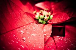 poinsetta in the rain
