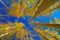 aspens changing colours