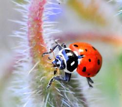 ladybug on boral fur