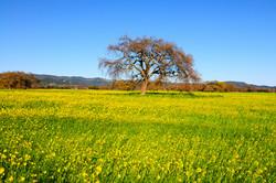 Lone oak in a field of mustard