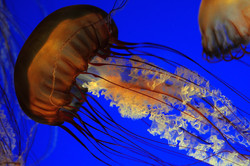 leather jellyfish