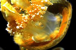 Cream Jellyfish