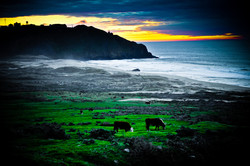 Big Sur  _ Cows, lighthouse and the beach